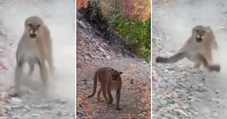 mountain lion stalks jogger