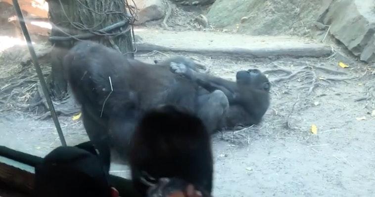 gorilla oral